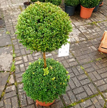 Load image into Gallery viewer, Buxus Single Stem