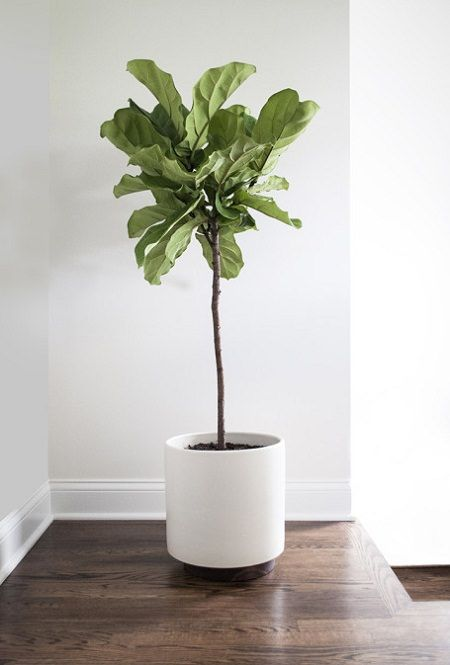 Ficus lyrata- Fiddle Fig