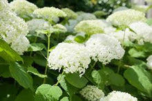 Load image into Gallery viewer, Hydrangea 'Annabelle'