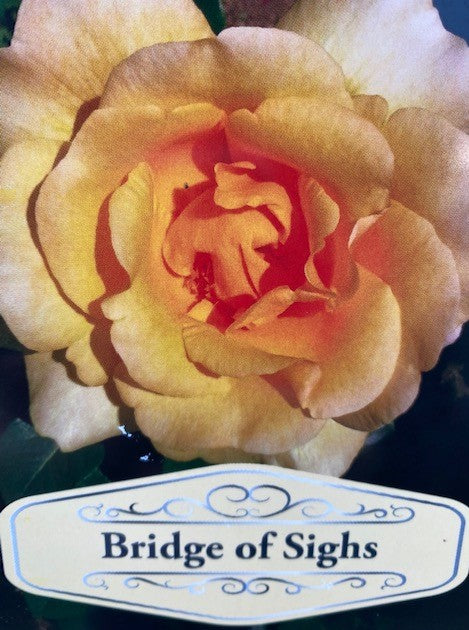 Climbing Rose Bridge of Sighs