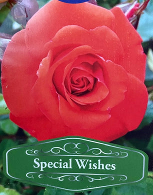 Patio Rose Special Wishes