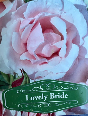 Patio Rose Lovely Bride