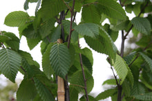 Load image into Gallery viewer, Hornbeam- Carpinus Betulus Lucas