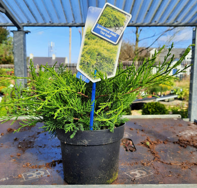 Juniperus med. 'Old Gold'