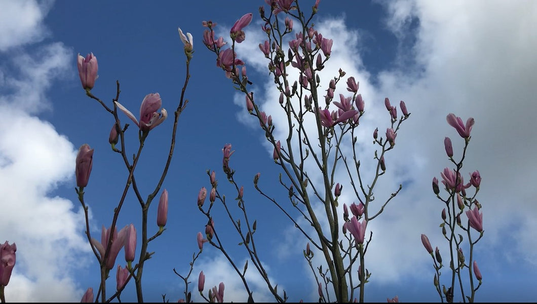 Magnolia Heaven Scent Tree
