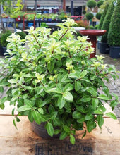 Load image into Gallery viewer, Pittosporum T.Golden Ball
