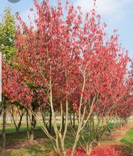 Load image into Gallery viewer, Autumn Prunus Royal Burgundy