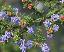 "Load image into Gallery viewer, Ceanothus ""Julia Phelps"""