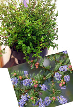 Load image into Gallery viewer, Julia Phelps, evergreen, Ceanothus