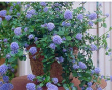 Load image into Gallery viewer, Ceanothus Repens