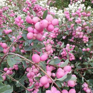 symphoricarpos m sweet, pink berry, dream collection, shrub