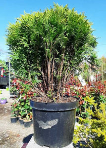 Thuja occidentalis Danica €17.00