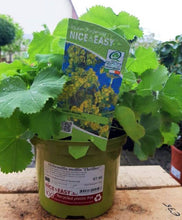Load image into Gallery viewer, alchemilla mollis