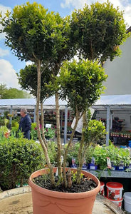 buxus multi head