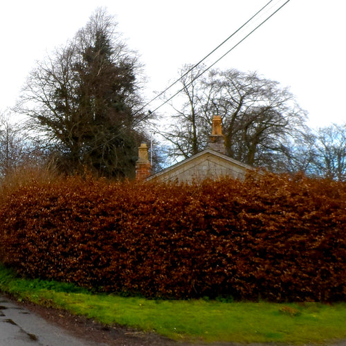 Copper Beech Hedging