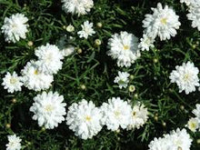 Load image into Gallery viewer, Daisy (double white)