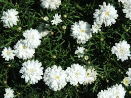 Daisy (double white)