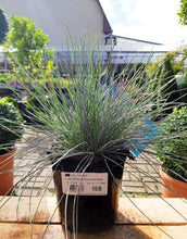 Load image into Gallery viewer, Festuca glauca Elijah Blue