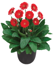 Load image into Gallery viewer, Garvinea Sweet Love, perennial holland supersize red bedding plant