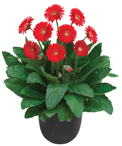 Garvinea Sweet Love, perennial holland supersize red bedding plant