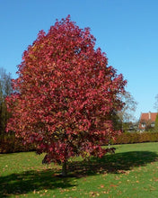 Load image into Gallery viewer, Liquidamber sweet gum tree red autumn