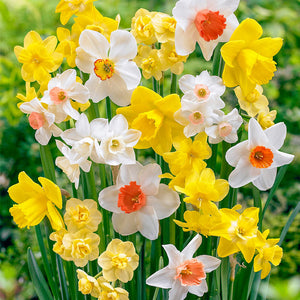 Mixed daffodil bulbs