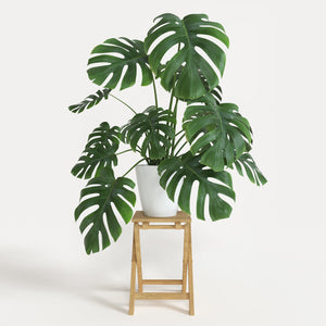 Monstera- Swiss Cheese