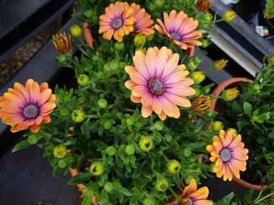Osteospermum pinky-white / soft red perennial