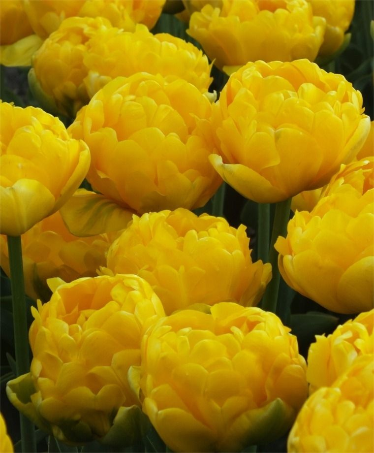 Double Tulips 'Yellow Pomponette'