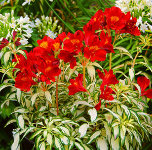 rock and roll alstroemeria