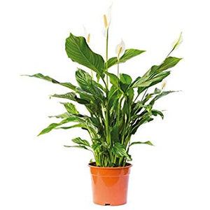 Spathiphyllum wallisii- Peace Lily