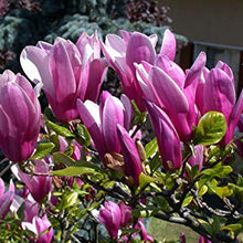 Load image into Gallery viewer, Magnolia- Susan