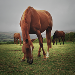 What conditions could be linked to my horse's hindgut