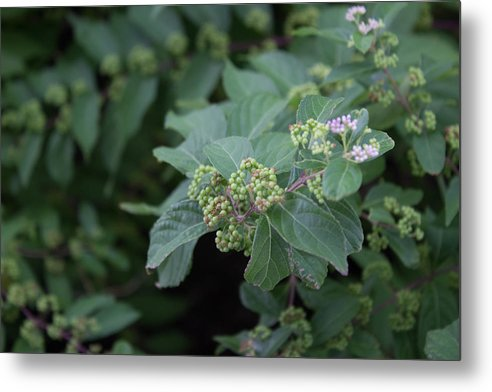 Berries - Metal Print
