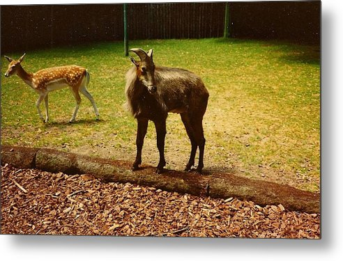 Billy Goat Keeping Lookout - Metal Print