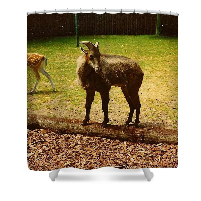 Billy Goat Keeping Lookout - Shower Curtain
