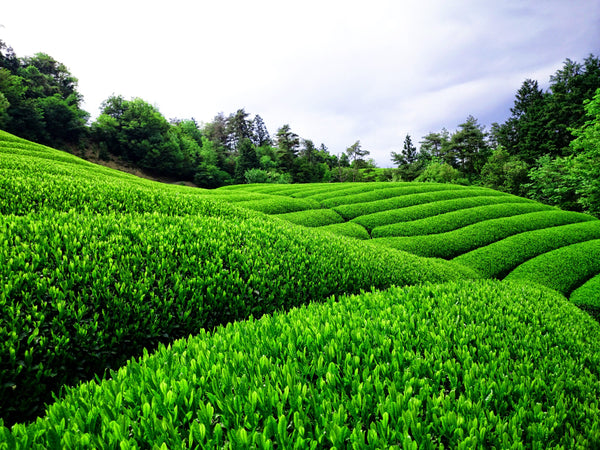 The Wonderful World of Green Teas in Japan