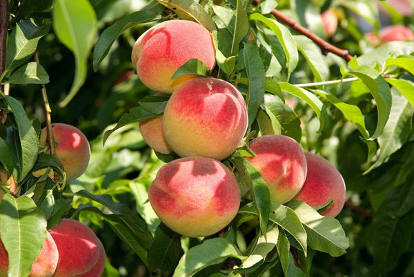 Japanese peaches from Fukushima