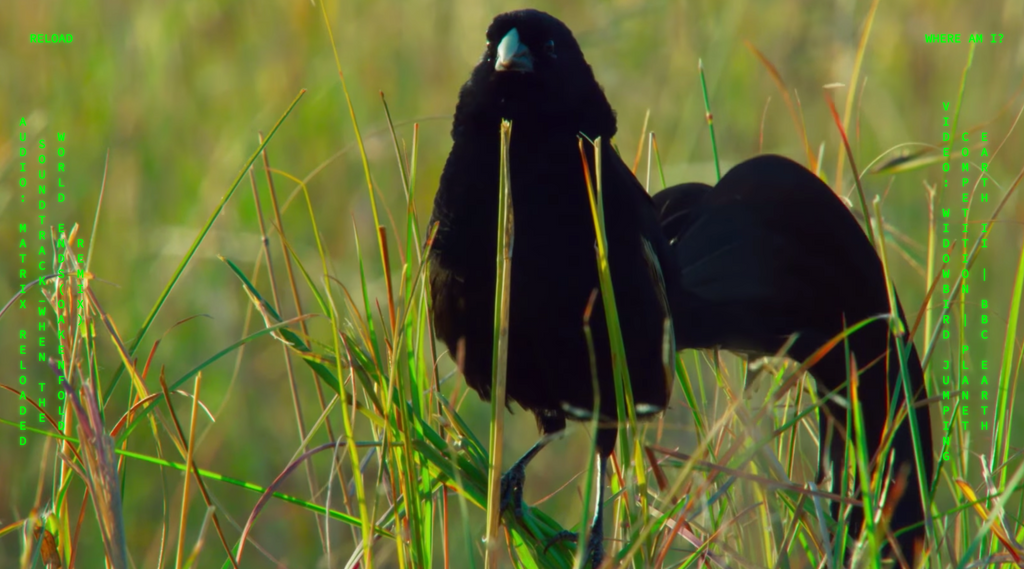 An image of a Widowbird standing on tall grass surrounded by green text displaying which Matrix song is playing with which nature video.