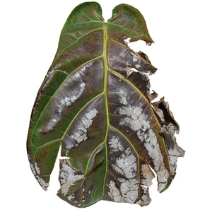 Burnt Fiddleleaf