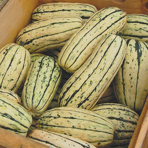 Delicata Winter Squash - High Mowing Organic Seeds