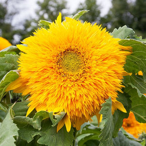 Goldy Double Sunflower - High Mowing Organic Seeds
