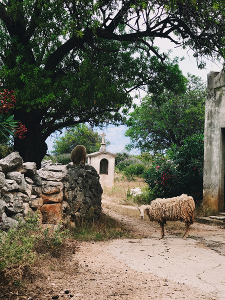 Sheep in town of Lun on Pag Island, Croatia