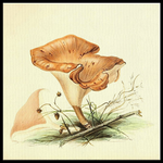 Tawny Funnel (Lepista flaccida) Botanical Canvas Print - Multimush