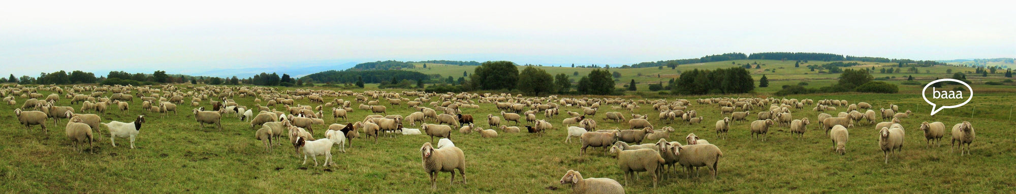 Merino sheep on a hilly field in New Zealand