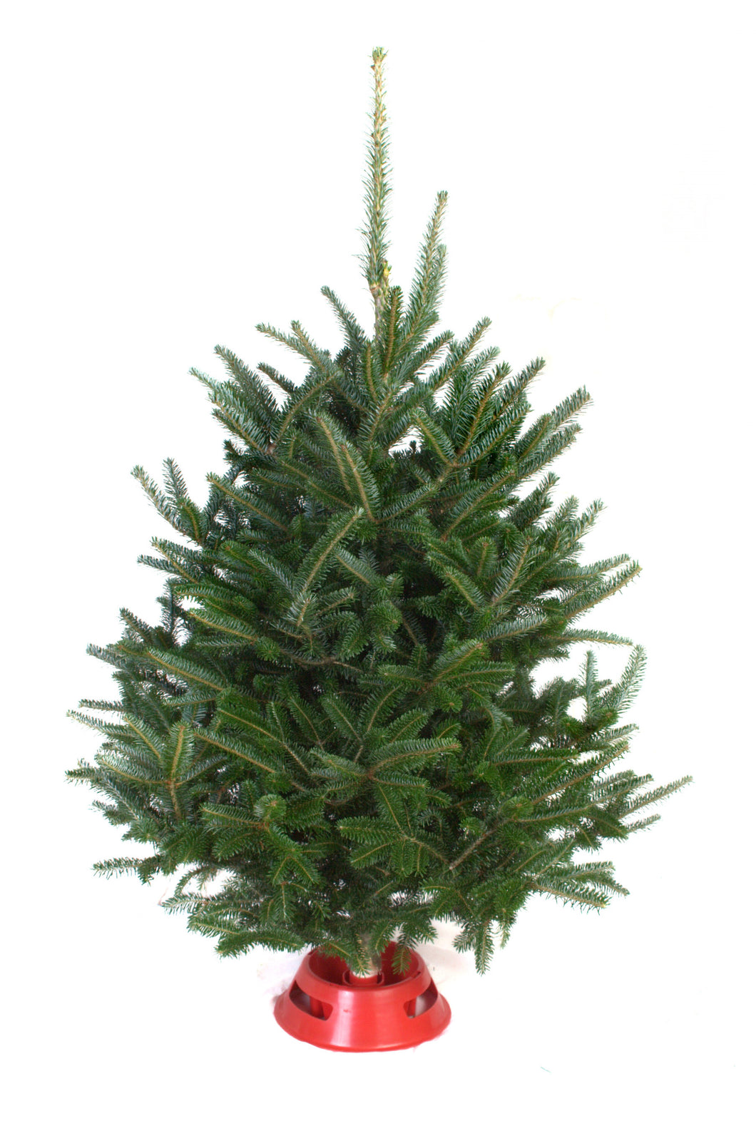 Mini 3-4' Table Top Fraser Fir (Select Location for Delivery)