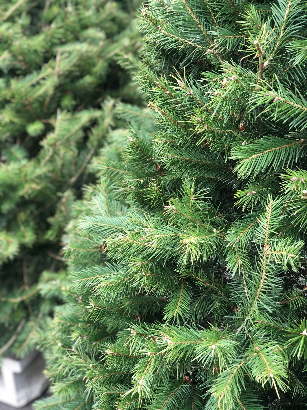 A Douglas Fir Is a Beautiful Christmas tree with soft, shiny green needles.