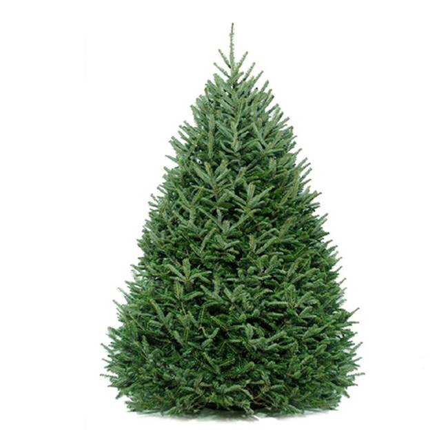 Our most Premium Grade Tree. The Fraser Fir has the softest and strongest needles of all trees.