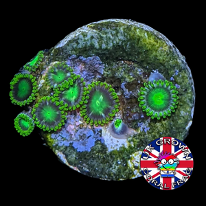 Radioactive Dragons Eyes Zoa Frag (UK Grown)