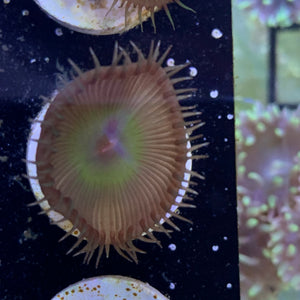 1 Polyp Saturn's Ring paly  Zoa frag